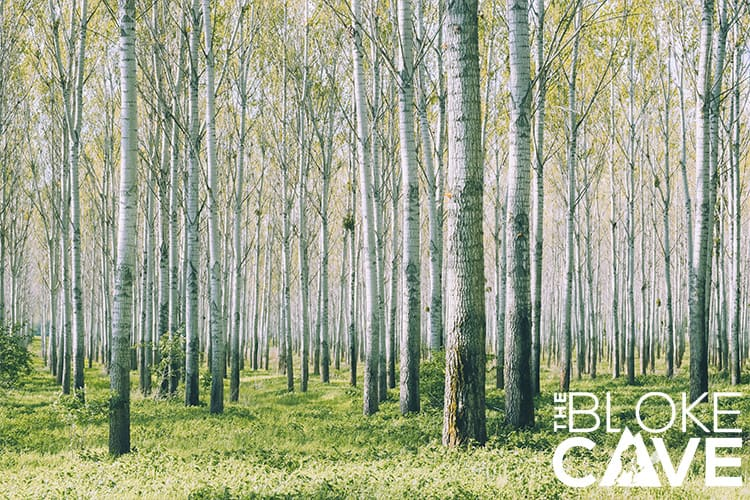Commercial Birch Forest